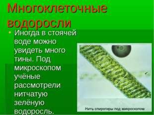 Многоклеточные водоросли Иногда в стоячей воде можно увидеть много тины. Под