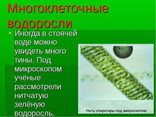 Многоклеточные водоросли Иногда в стоячей воде можно увидеть много тины. Под...