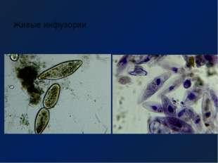 Живые инфузории Готовый микропрепарат