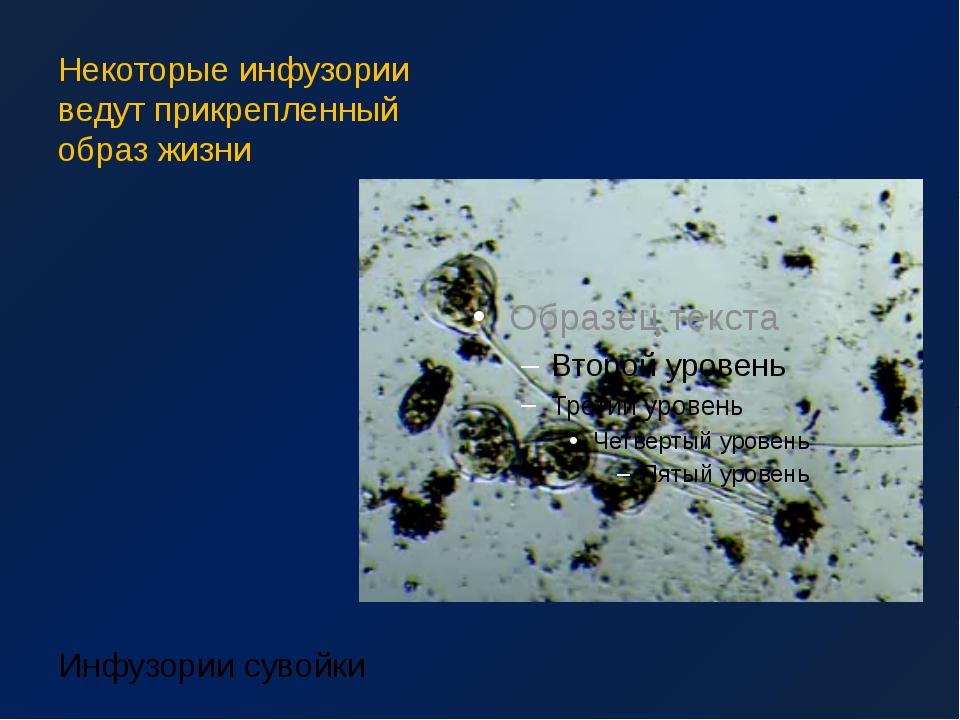 Некоторые инфузории ведут прикрепленный образ жизни Инфузории сувойки