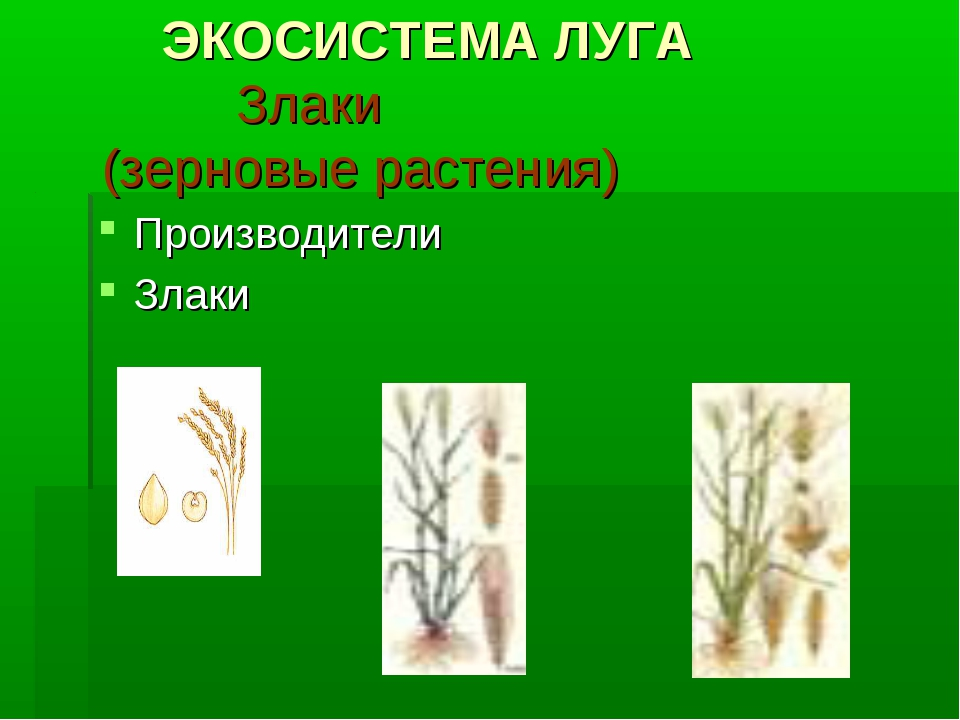 ЭКОСИСТЕМА ЛУГА Злаки (зерновые растения) Производители Злаки