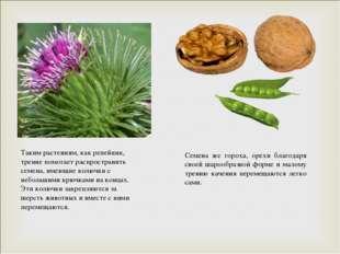 Таким растениям, как репейник, трение помогает распространять семена, имеющие