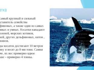 Косатка Это самый крупный и сильный представитель семейства дельфиновых, а та