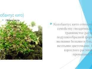 (Колобантус кито) Колобантус кито относится к семейству гвоздичных Это травян