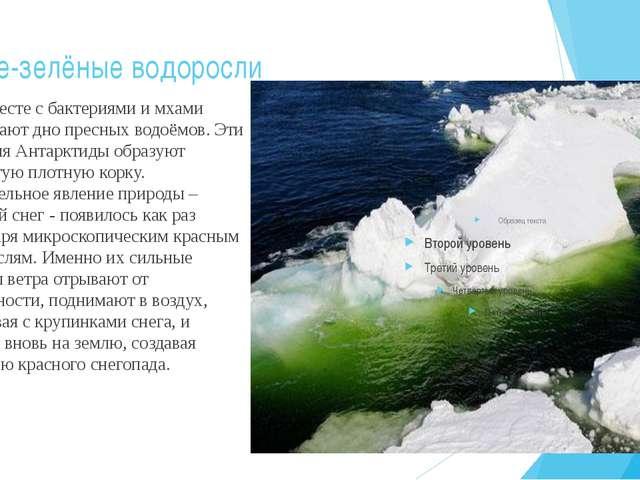 Сине-зелёные водоросли Они вместе с бактериями и мхами покрывают дно пресных...