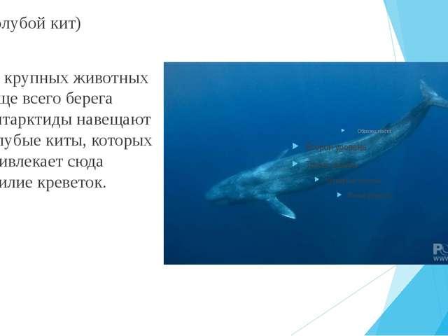 (Голубой кит) Из крупных животных чаще всего берега Антарктиды навещают голуб...