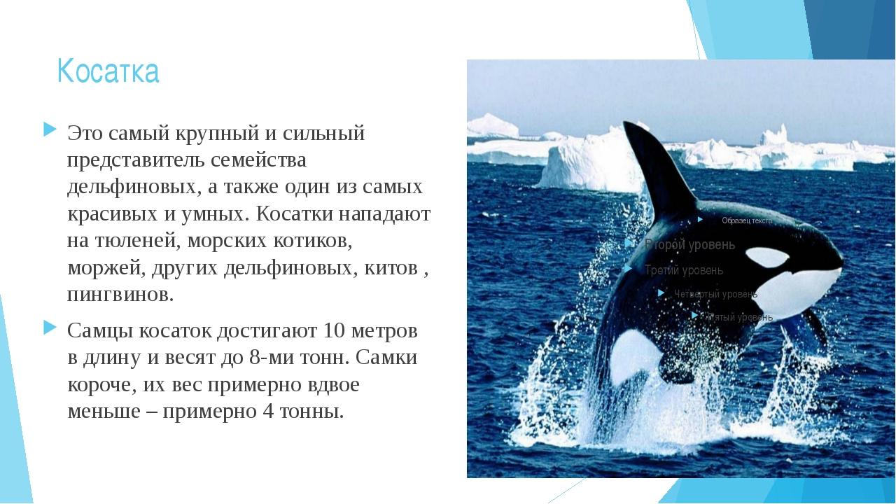 Косатка Это самый крупный и сильный представитель семейства дельфиновых, а та...