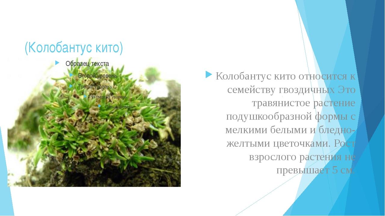 (Колобантус кито) Колобантус кито относится к семейству гвоздичных Это травян...