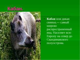 Кабан. Кабанили дикая свинья,— самый широко распространенный вид. Населяет
