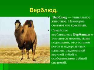 Верблюд. Верблюд— уникальное животное.Некоторое считают его красивым. Сем