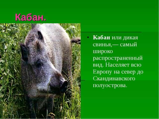 Кабан. Кабанили дикая свинья,— самый широко распространенный вид. Населяет...