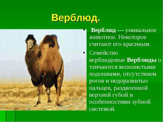 Верблюд. Верблюд— уникальное животное.Некоторое считают его красивым. Сем...
