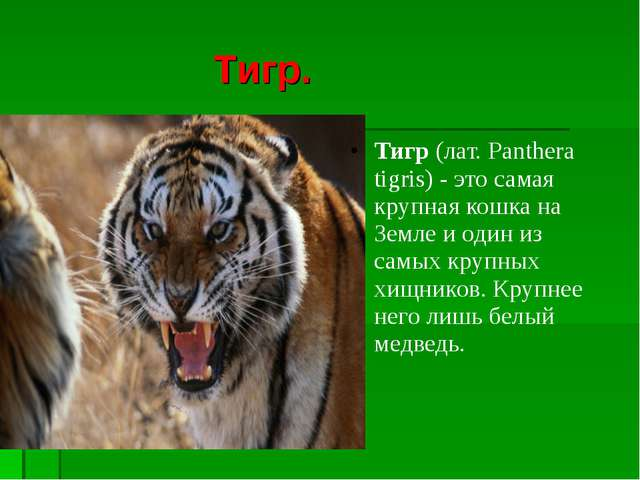 Тигр. Тигр(лат. Panthera tigris) - это самая крупная кошка на Земле иодин...