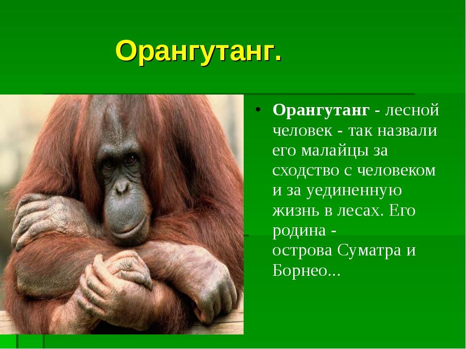 Орангутанг. Орангутанг- лесной человек - так назвали его малайцы за сходств...