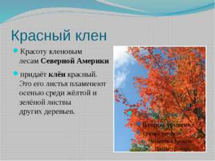Красный клен Красоту кленовым лесамСевернойАмерики придаётклёнкрасный. Э