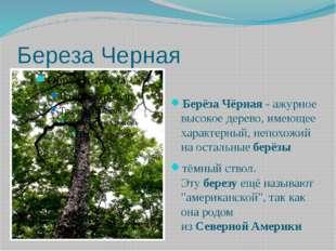 Береза Черная БерёзаЧёрная- ажурное высокое дерево, имеющее характерный,не