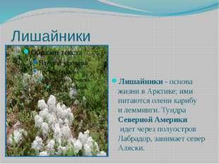 Лишайники Лишайники- основа жизни в Арктике; ими питаются олени карибу илем