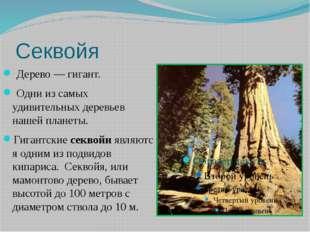 Секвойя Дерево — гигант. Одни из самых удивительных деревьев нашейпланеты.