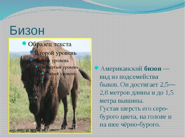 Бизон Американскийбизон — вид из подсемейства быков.Он достигает 2,5—2,8 ме...
