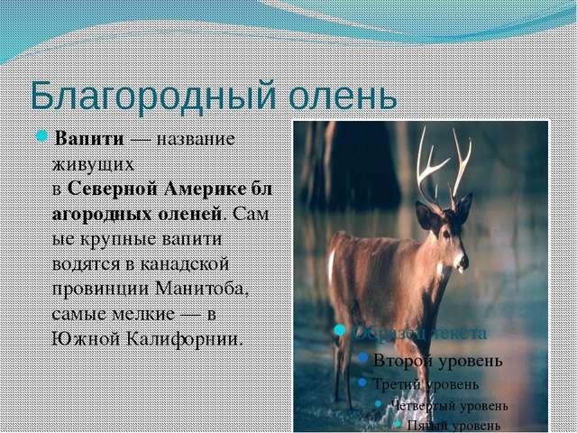 Благородный олень Вапити — название живущих вСевернойАмерикеблагородныхол...