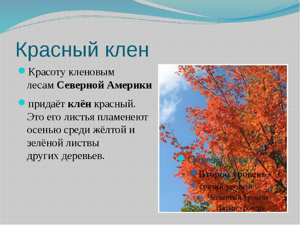 Красный клен Красоту кленовым лесамСевернойАмерики придаётклёнкрасный. Э...