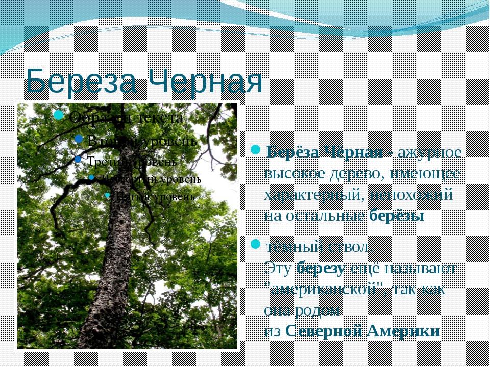 Береза Черная БерёзаЧёрная- ажурное высокое дерево, имеющее характерный,не...