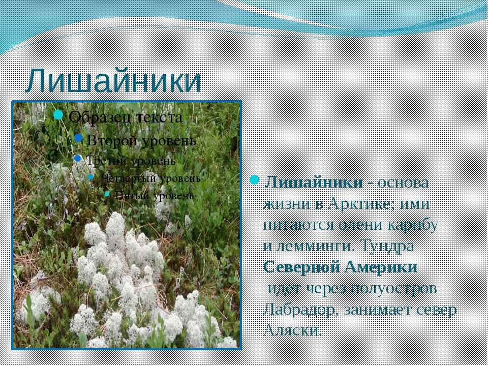 Лишайники Лишайники- основа жизни в Арктике; ими питаются олени карибу илем...