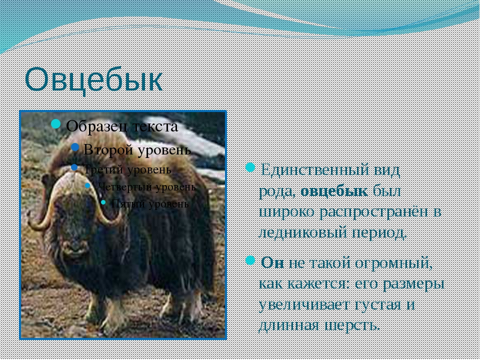 Овцебык Единственный вид рода,овцебыкбыл широко распространён в ледниковый...