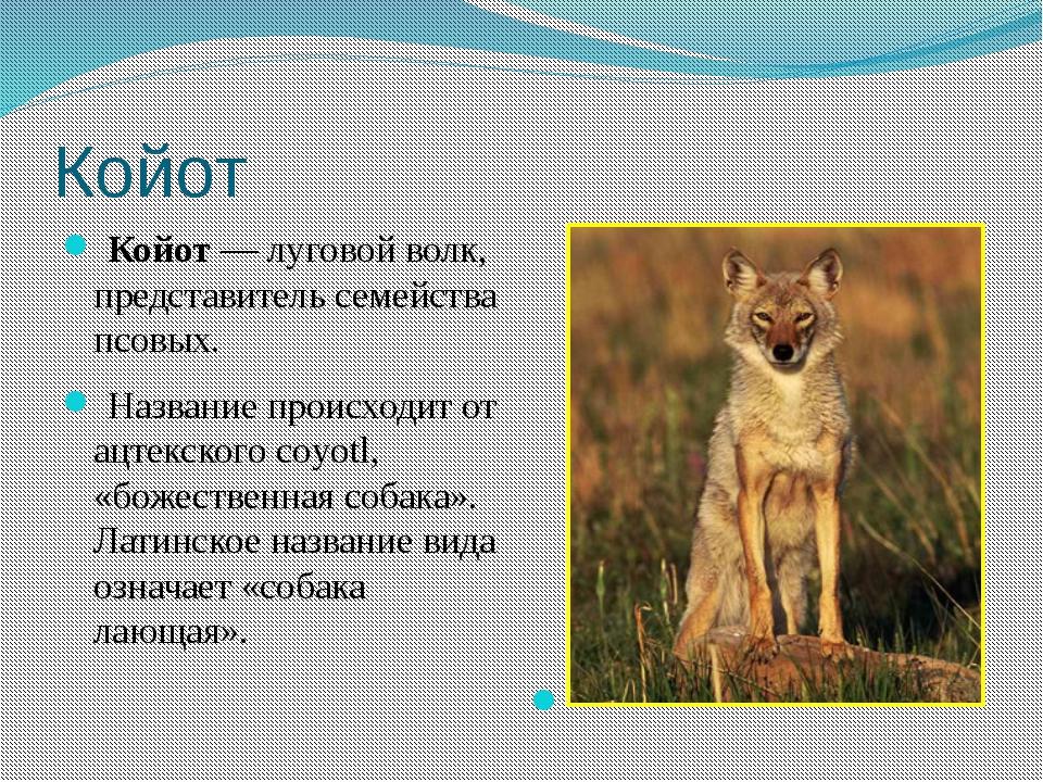 Койот Койот— луговой волк, представитель семейства псовых. Название происх...