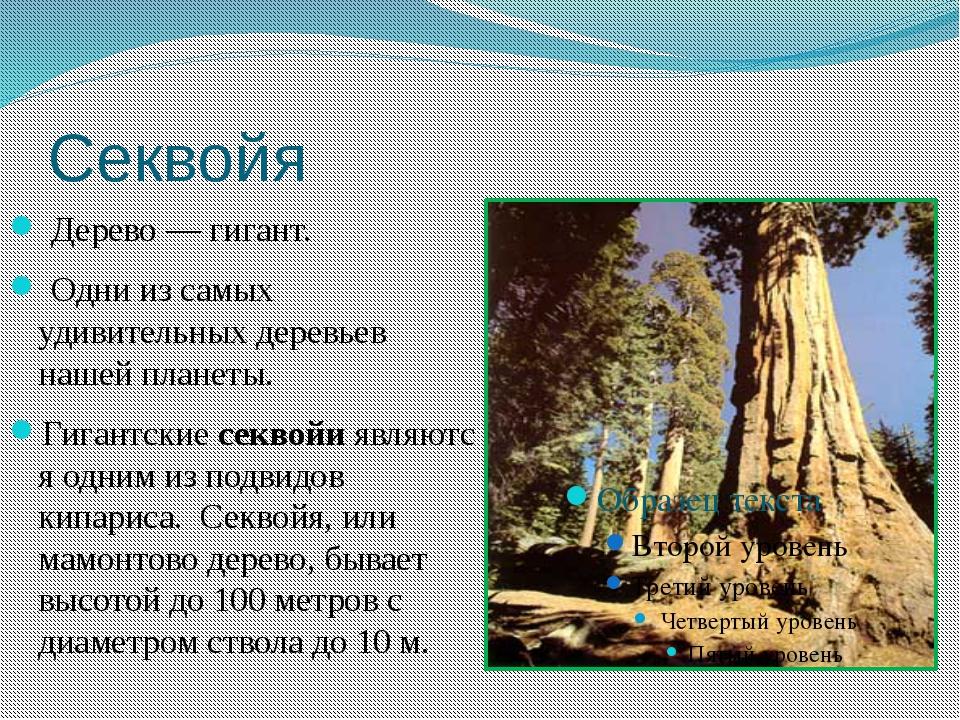 Секвойя Дерево — гигант. Одни из самых удивительных деревьев нашейпланеты. ...