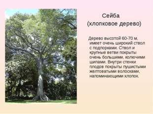 Сейба (хлопковое дерево) Дерево высотой 60-70 м, имеет очень широкий ствол с