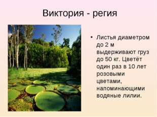 Виктория - регия Листья диаметром до 2 м выдерживают груз до 50 кг. Цветёт од