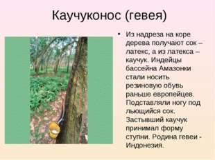 Каучуконос (гевея) Из надреза на коре дерева получают сок – латекс, а из лате