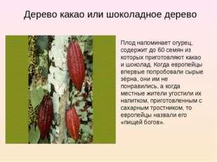 Дерево какао или шоколадное дерево Плод напоминает огурец, содержит до 60 сем