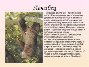 Ленивец Их среда обитания – тропические леса. Здесь ленивцы висят на ветвях д
