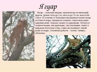 Ягуар Ягуар – сильный хищник, практически не имеющий врагов. Длина тела до 2