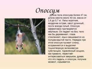 Опоссум Длина тела опоссума более 47 см, длина хвоста около 43 см, масса от 1