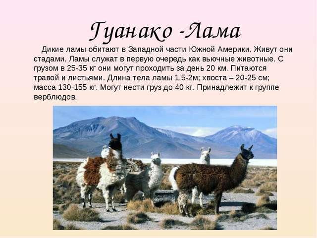 Гуанако -Лама Дикие ламы обитают в Западной части Южной Америки. Живут они ст...