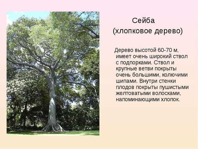 Сейба (хлопковое дерево) Дерево высотой 60-70 м, имеет очень широкий ствол с...