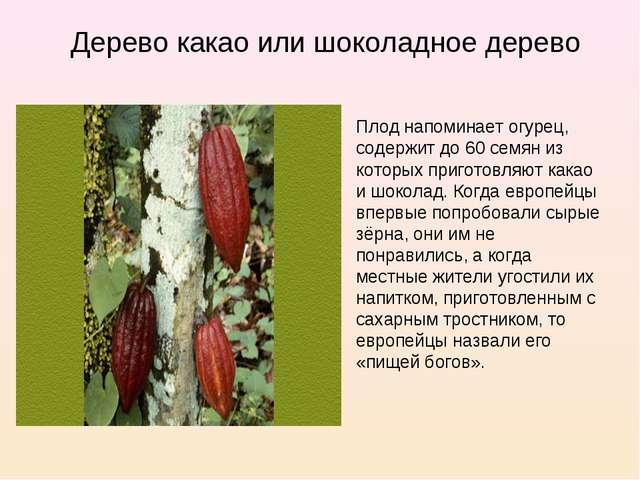 Дерево какао или шоколадное дерево Плод напоминает огурец, содержит до 60 сем...