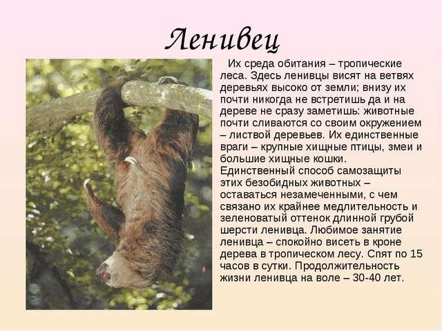 Ленивец Их среда обитания – тропические леса. Здесь ленивцы висят на ветвях д...
