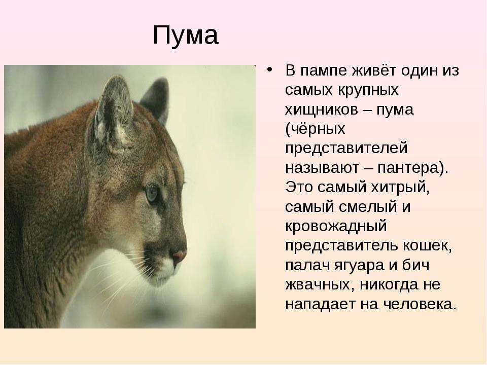 В пампе живёт один из самых крупных хищников – пума (чёрных представителей на...
