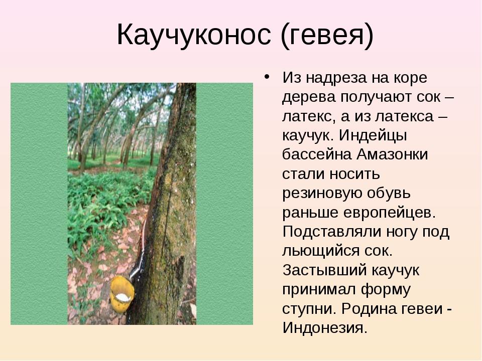 Каучуконос (гевея) Из надреза на коре дерева получают сок – латекс, а из лате...