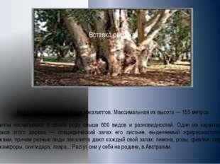 Нет в мире деревьев выше эвкалиптов. Максимальная их высота — 155 метров. Эвк