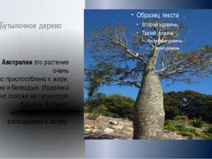 Бутылочное дерево В Австралии это растение очень хорошо приспособлено к жаре,
