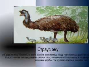 Страус эму Эта древняя птица появилась на Земле около 40 тысяч лет тому наза