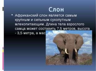 Слон Африканский слон является самым крупным и сильным сухопутным млекопитаю