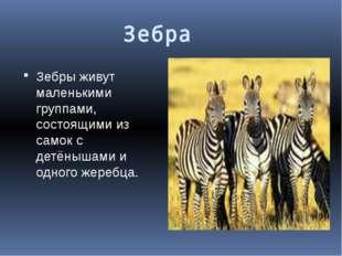 Зебра        Зебры живут маленькими группами, состоящими из самок с детёныша