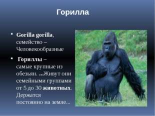 Gorillagorilla, семейство – Человекообразные Gorillagorilla, сем