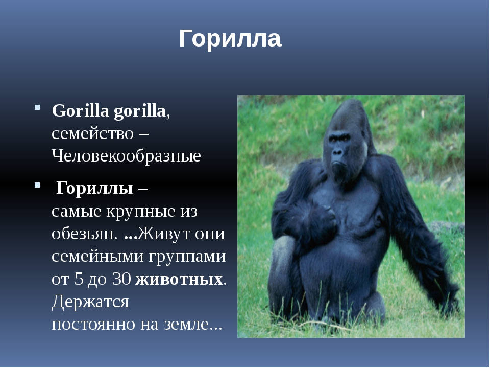 Gorillagorilla, семейство – Человекообразные Gorillagorilla, сем...